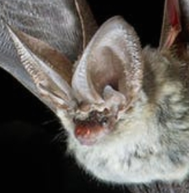 Channel Islands Bat Conference
